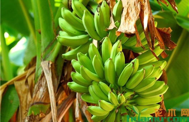 香蕉高产种植技术