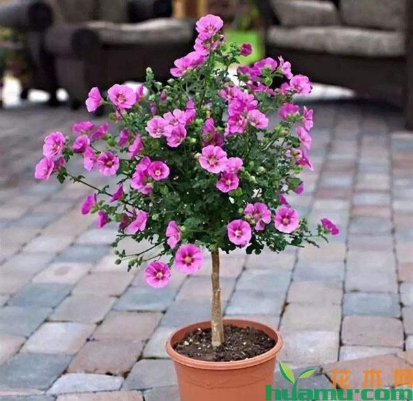 小木槿怎样变身开花树?