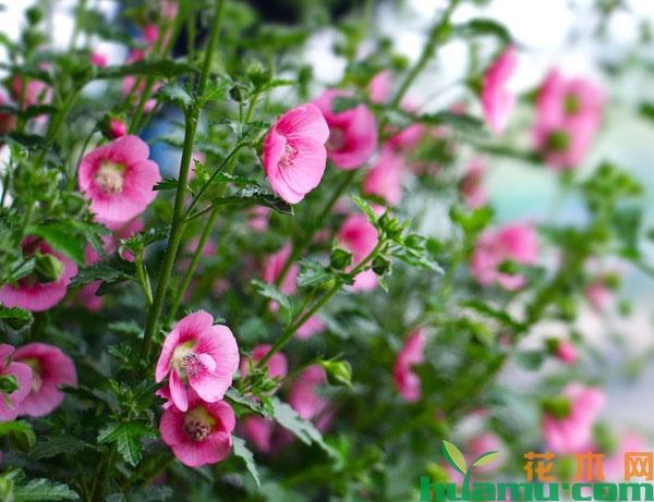 小木槿夏天这样养很容易开花爆盆