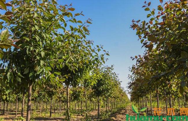安徽:三口镇出台政策扶持绿化苗木产业