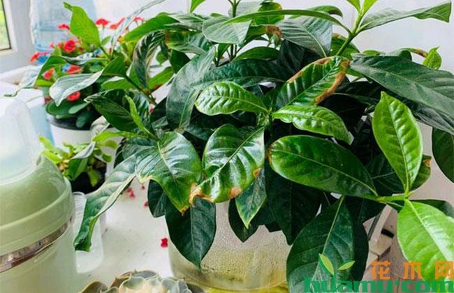 水培栀子花黄叶什么原因?