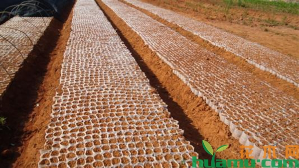 美国红枫种植技术