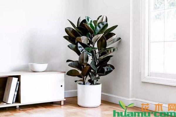 橡皮树适合在什么环境中生长?