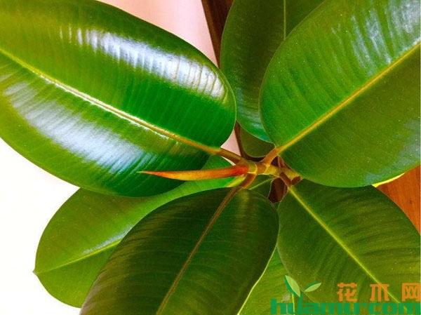 橡皮树的施肥方法