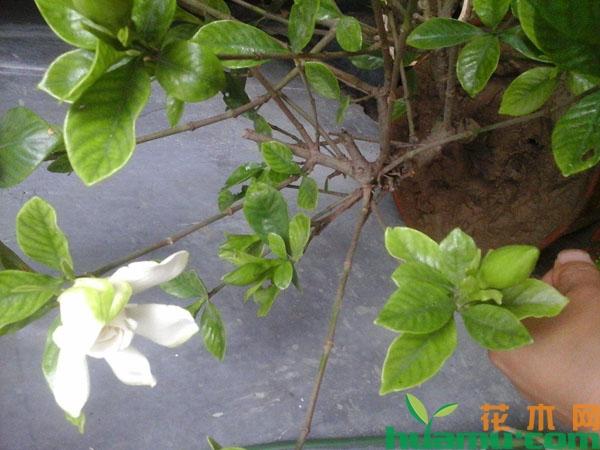 夏天栀子花出现这种黄叶要换盆