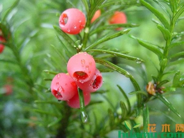 红豆杉盆景怎样养才能结果?