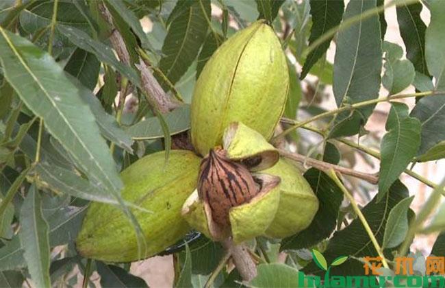 碧根果的种植管理技巧