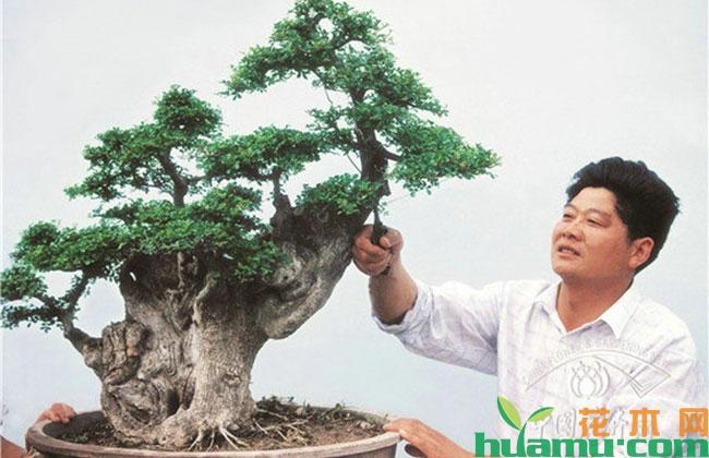 """""""绿林园艺""""掌门人蔡平安和他的对节白蜡景观树"""