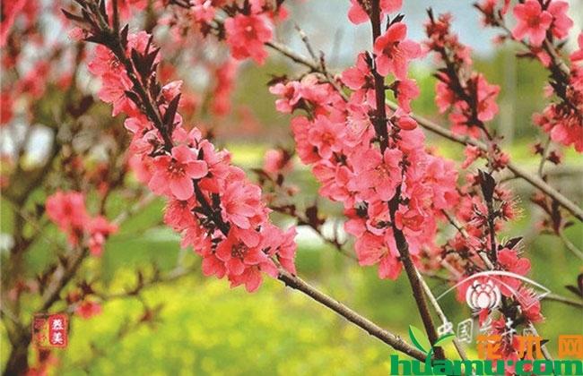 """观花树种被看好,将迎""""热销""""浪潮"""