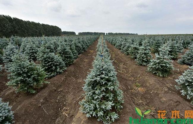 美国红枫、欧洲小叶椴和科罗拉多蓝杉管理方法