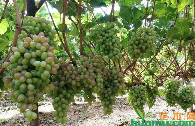 葡萄成熟期裂果什么原因?