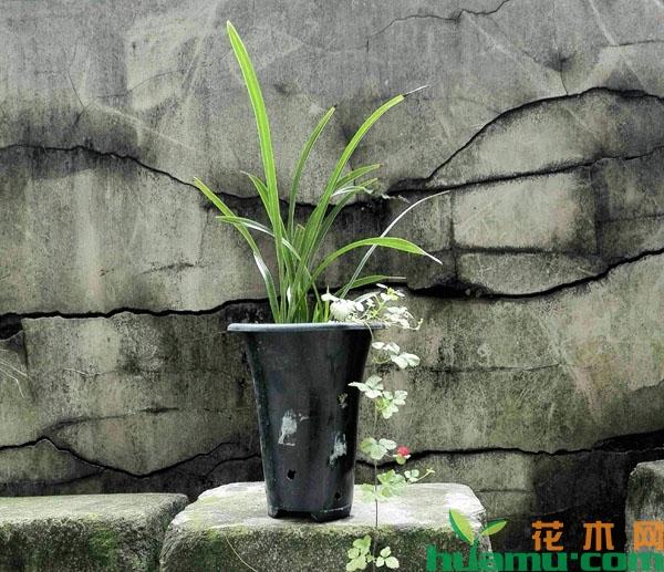 兰花放在东阳台沐浴晨露可安全度夏