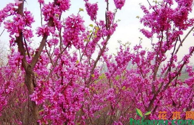 紫荆树在北京的应用