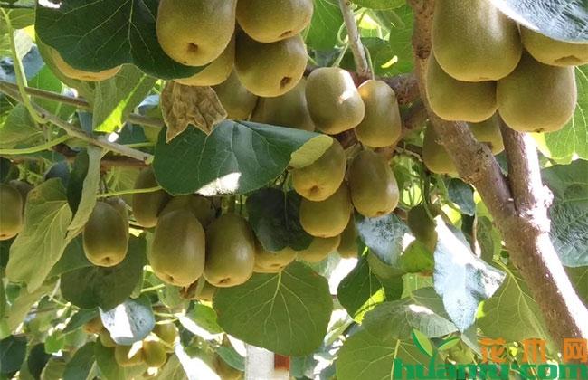 红心猕猴桃高产栽培技术