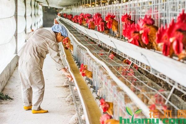 2019年养鸡补贴政策