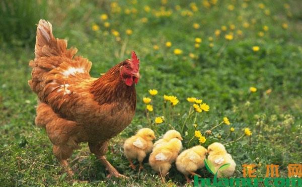 养鸡怎么赚钱?现在农村养鸡赚钱吗?