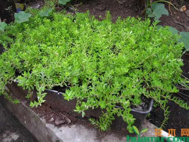 佛甲草屋顶绿化技术有哪些优势?效果怎么样?