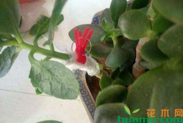 玉树嫁接长寿花的方法