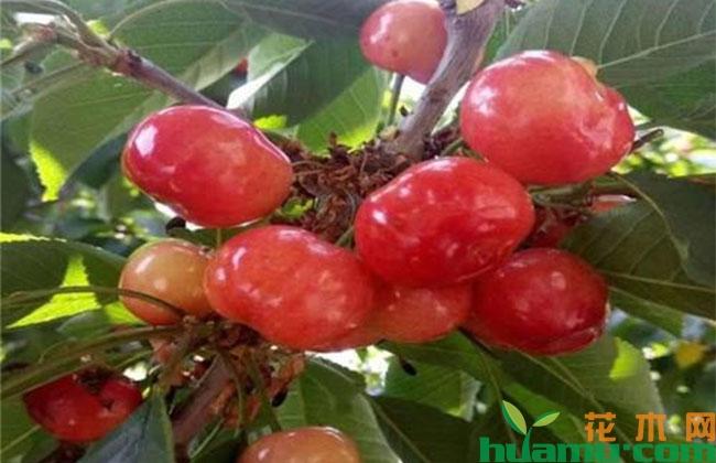 这25种樱桃品种,哪一种更适合种植?