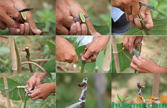 猕猴桃夏季芽接多少天发芽?