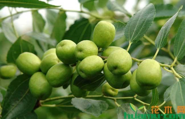 枣树幼果期病虫害管理技术