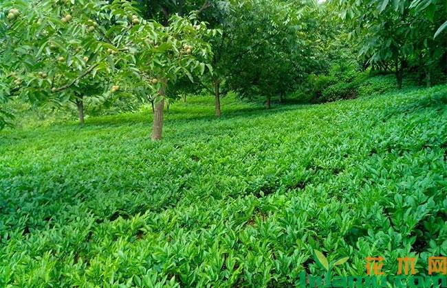 贵州水城:林下种植万亩药材 护了森林 富了百姓