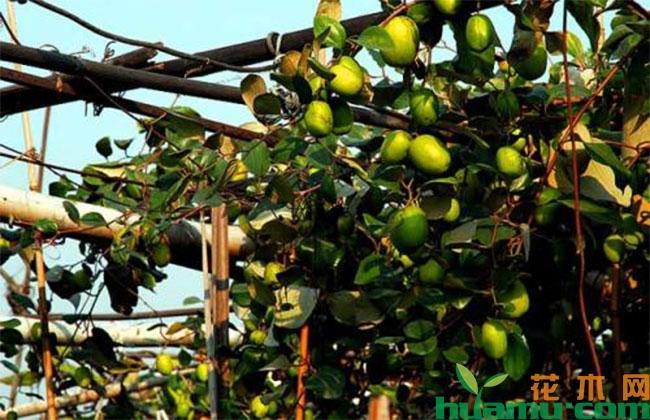 枣树的坐果率如何提高?