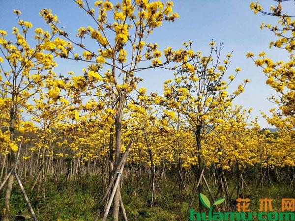 这些常见观花树种下半年将迎来销售热潮!