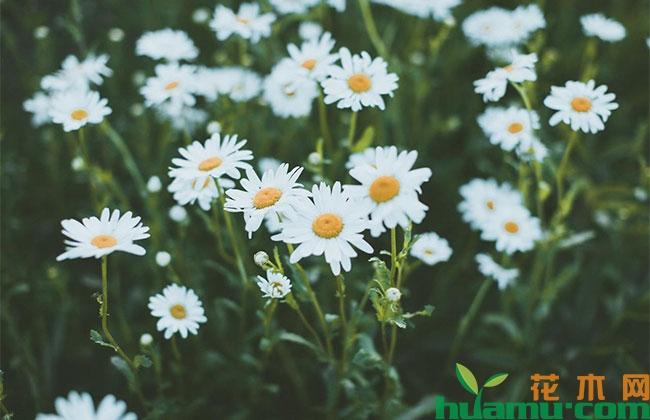 白晶菊扦插方法