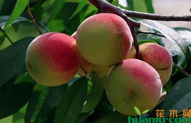 桃子市场行情怎样?种植前景如何?