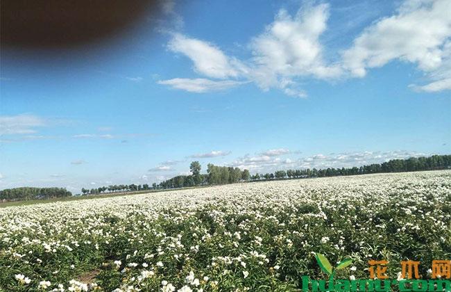 北京:京郊2万亩景观药田迎观赏旺季