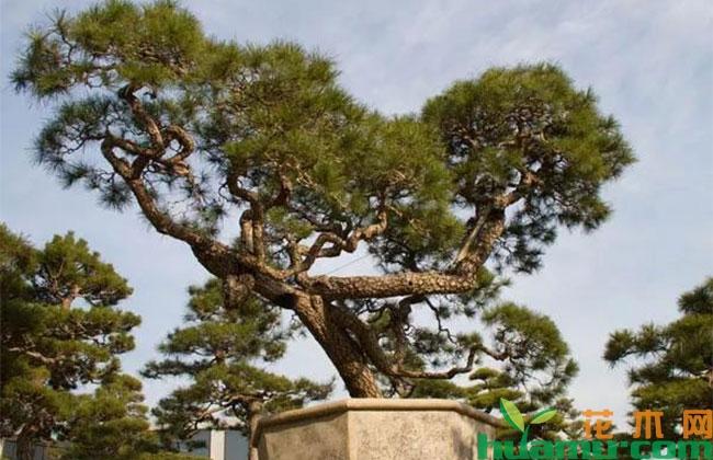 高端苗木有什么特点?未来发展前景可好?