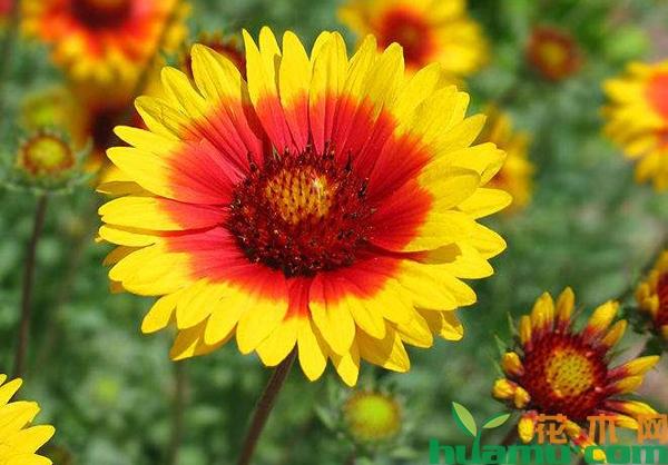 天人菊怎么种植?天人菊繁殖方法有哪些?