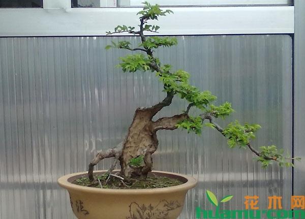 小叶黄杨盆景怎么养?