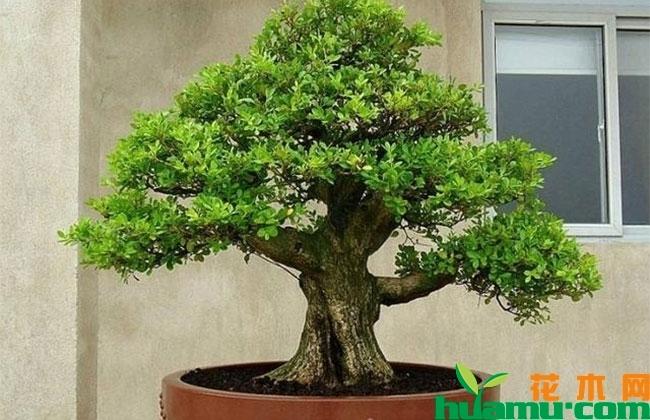 小叶黄杨盆景价值