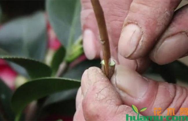月季上嫁接茶花的管理方法