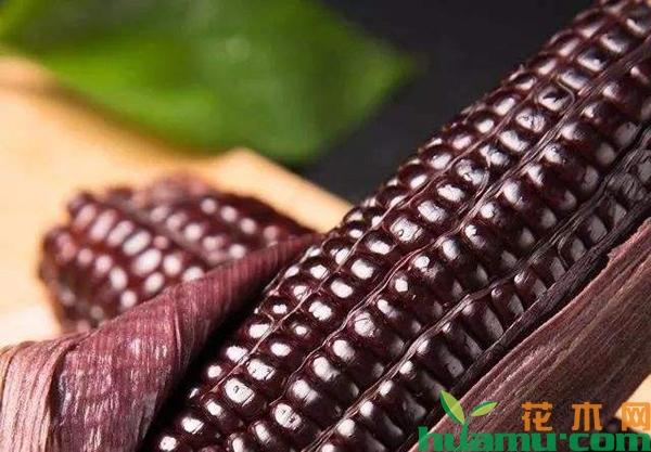 黑玉米价格多少钱?它的种植前景如何?