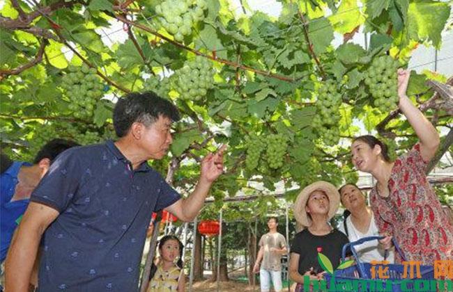 杭州:葡萄种植富农家