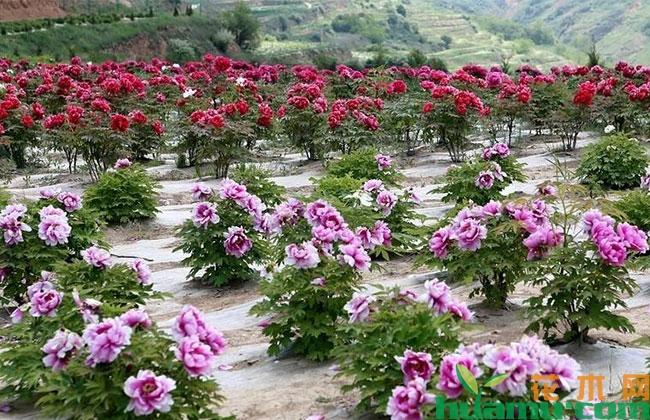 全国牡丹芍药产业发展高峰论坛将在山东召