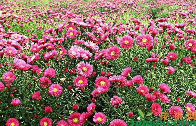 荷兰菊几个品种?哪种荷兰菊品种好?