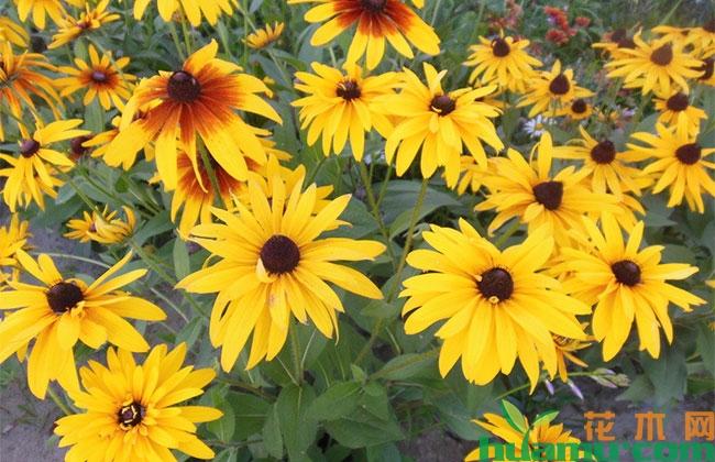 黑心菊种植方法