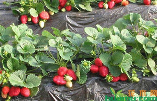 草莓苗早定植就可以早上市吗?