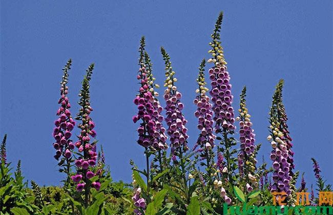 毛地黄花语是什么?毛地黄什么时候开花?