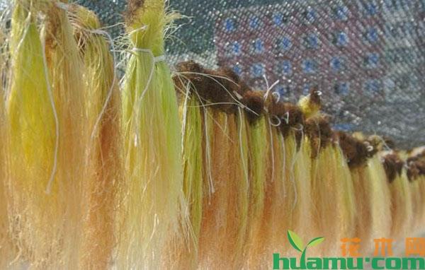 玉米须的市场价格,玉米须行情分析