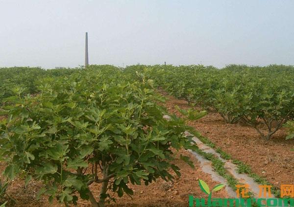 2019年种植一亩无花果纯收益达到4万,怎么做到的?
