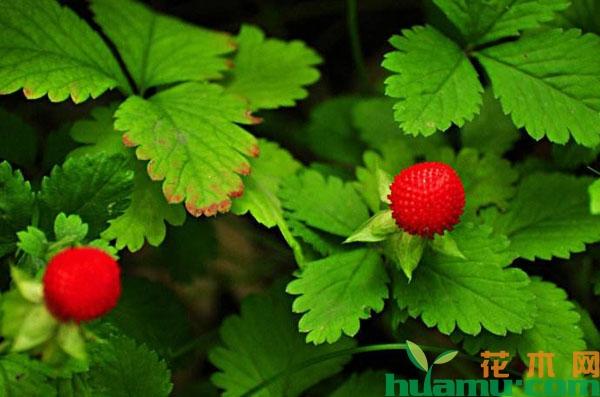 蛇莓种子多少钱一斤?蛇莓种子种植方法介绍