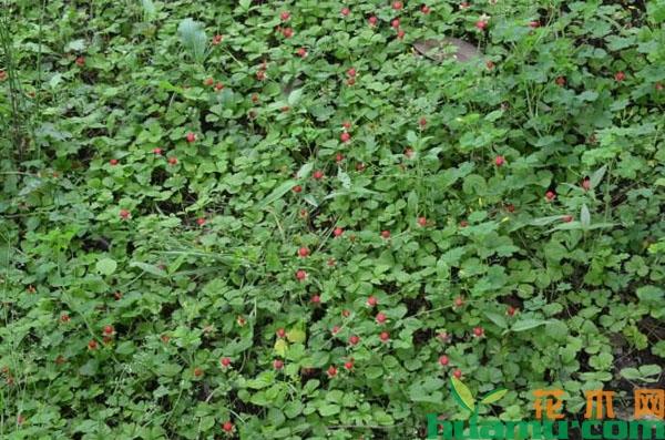 蛇莓能吃吗?