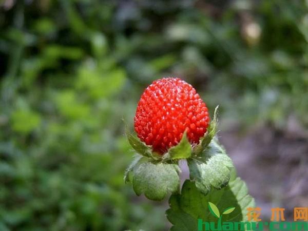 蛇莓的种植技术