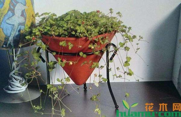 蛇莓的盆栽技术