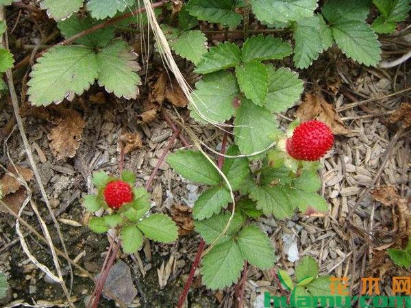 蛇莓的种植前景